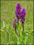Dactylorhiza majalis - Broad-leaved Marsh Orchid - Majnycklar.jpg