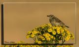 Meadow Pipit / Graspieper