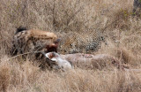 Hyena and Leopard - Very Graphic - Not For Squeamish