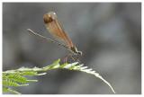 Calopteryx haemorrhoidalis (f)