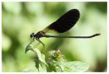 Calopteryx haemorrhoidalis (m)