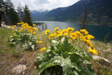 Arrowleaf Balmsom Root Blooms Line View Of Lake Chelan From Trail In May