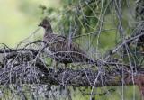 Female  Hen Blue Grouse