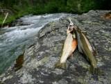 Entiat River Trout