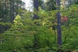 Vine Maple Of Bridge Creek Camp