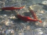 Spawning Kokanee In Stehekin River