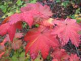 Fall 's   Vine Maple ,, Lines Upper Stehekin Road Closure,,