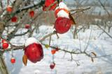 Snow on Apples ( Published For Wenatchee College )