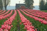 Tulips Of Skagit Valley