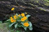 Yellow and Black ( Balsom Root )