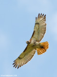 Red-tailedHawk29c4772.jpg