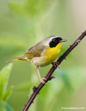CommonYellowthroat04c5993.jpg