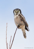 NorthernHawkOwl11c9061.jpg
