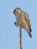 NorthernHawkOwl15c8431.jpg