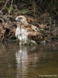 Red-tailedHawk20c.jpg