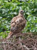 Red-tailedHawk23c.jpg
