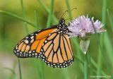 Monarch03c.jpg