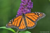 Monarch05c.jpg