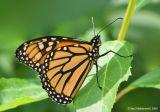 Monarch07c.jpg