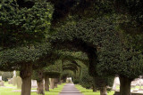 Yew trees in the churchyard at Painswick