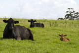 Black Angus trio