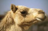 At the camel market, Buraimi, Oman