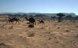 Desert camels outside Fossil Valley