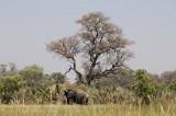 Elephant browsing beside the Okavango