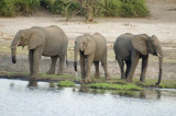 Young bull elephants, cast out by the herd