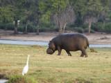 Hippopotamus, Chobe
