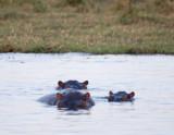 Submerged hippos, Chobe River
