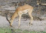 Impala grazing, Chobe NP