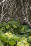 Rata forest with megaherbs on Enderby