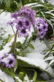 Giant purple daisy, Campbell I.