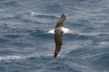 Campbell Island Albatross(?) in flight