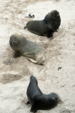 Trio of NZ (Hookers) sea lions, Enderby I.