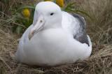 Southern royal albatross nesting, Campbell I.