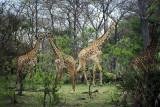 Giraffe group