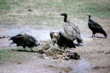 Vultures pick at a carcass