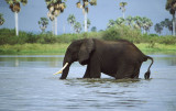 Elephant crossing the Rufiji at Selous Game Reserve