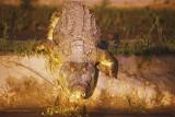 Crocodile entering the Rufiji at dusk