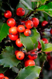 Macro of Holly Berries, D300 at ISO3200, via DxO Conversion