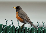 American Robin, Plain and Simple