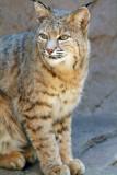 Bobcat 1