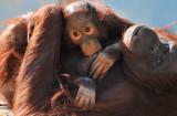 Orangutan - Baby & Mama