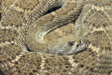 Western Diamondback Rattlesnake 1