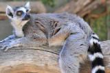 Ringtail Lemur 1