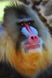 Baboon - Mandrill 3