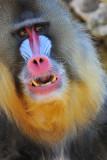Baboon - Mandrill 4