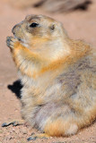 Prairie Dog 3